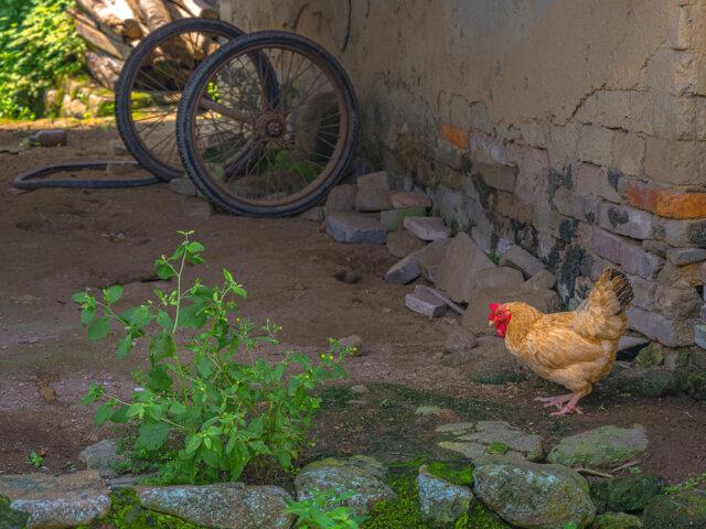 pollo españa alimentación