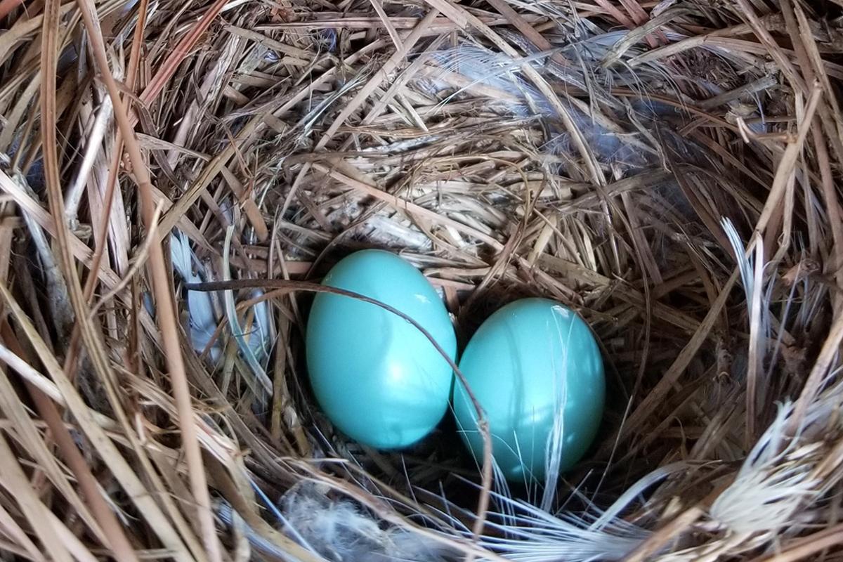 gallina huevos azules